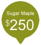 Sugar Maple
