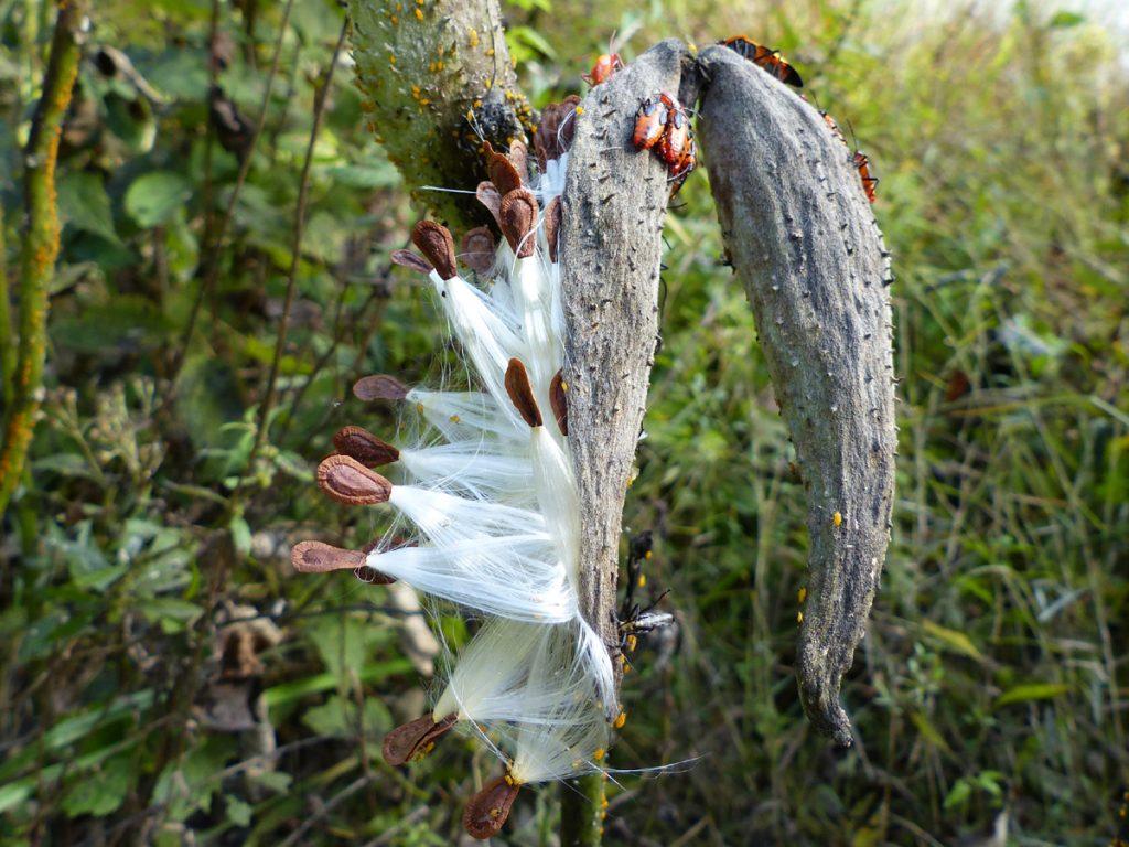 Milkweed Pods and Milkweed Bugs